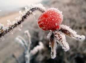 Заморозка шиповника на зиму