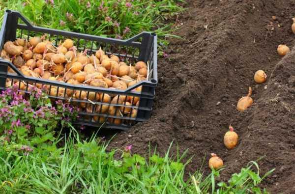 Удобрения для картофеля под зиму – Какие удобрения вносить в почву осенью под картофель – Шашлыкофф